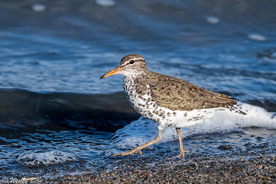 Spotted Sandpiper Walking Along the Shore
