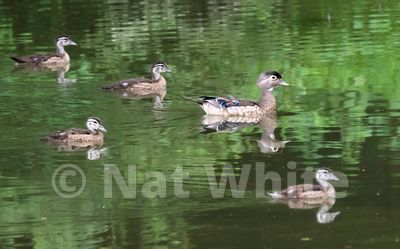 Wood_ducks-Filename_number_suffix-_1June_28_2019_NAT_WHITE