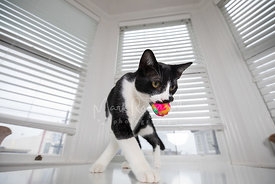 Black and White Cat Carrying Toy on Table