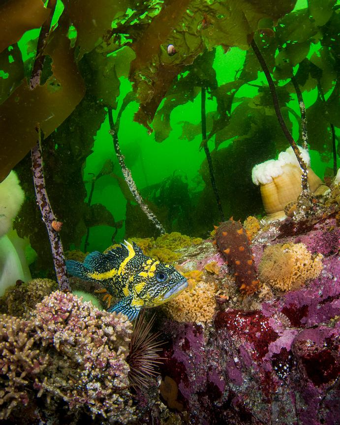 China Rockfish, Sebastes nebulosus, under cover of kelp on a shallow reef in Barkley Sound.