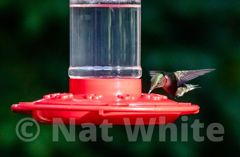Hummingbird_Date_(Month_DD_YYYY)1_5000_sec_at_f_8.0_NAT_WHITE