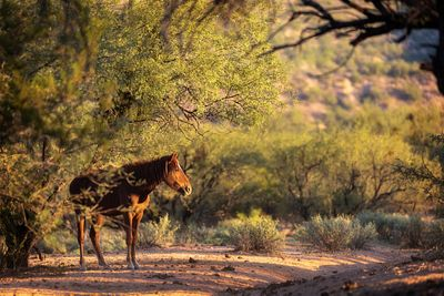Wild Horse in Arizona Desert