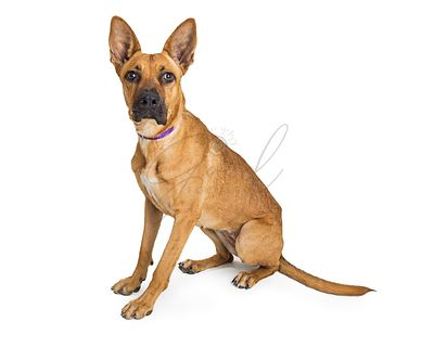 Big ear attentive pet German Shepherd mixed dog isolated