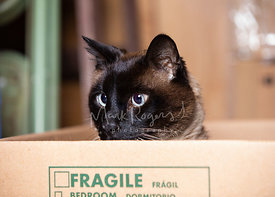 Siamese Cat Looking to Left from Moving Box