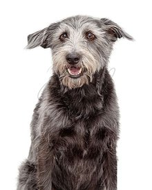 Closeup Happy Smiling Shaggy Terrier Dog