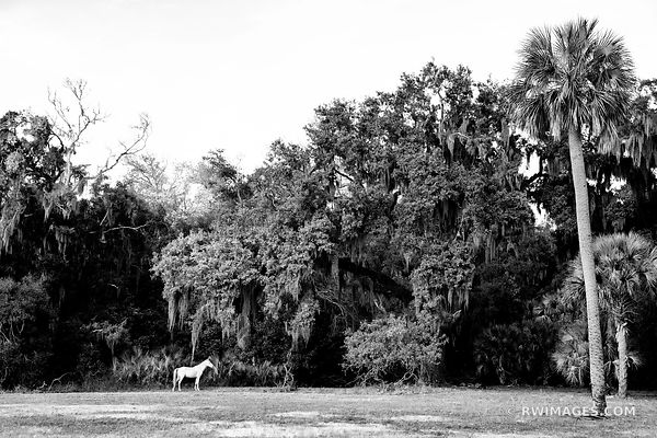 WHITE WILD HORSE DUNGENESS CUMBERLAND ISLAND GEORGIA BLACK AND WHITE