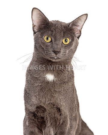 Closeup Grey Domestic Shorthair Cat