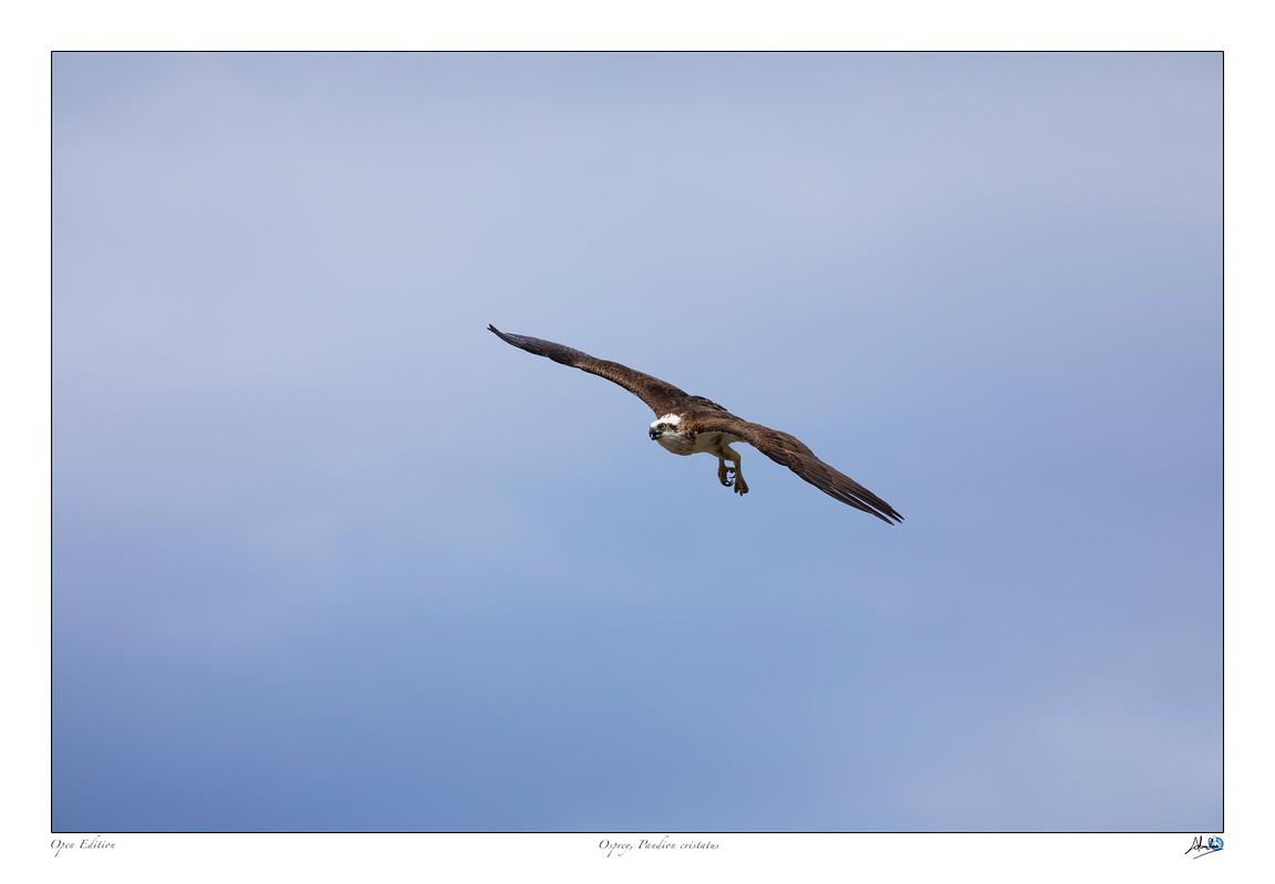 Osprey in flight with wings stretched out fully