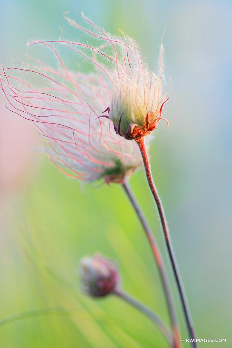 PRAIRIE SMOKE GEUM TRIFLORUM ILLINOIS PRAIRIE SUMMER WILDFLOWERS