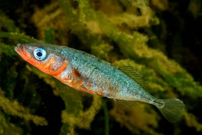 Vibrant coloured male Three-spined stickleback, Gasterosteus aculeatus, in estuarine waters. Males get coloured like this dur...