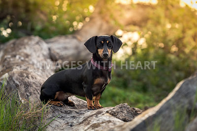 Black and tan  dachshund sitting on a log outdoors at sunset