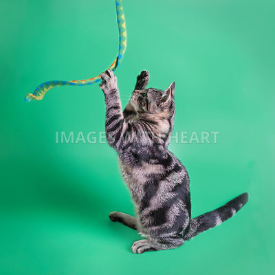gorgeous young tabby cat playing with toy on green background