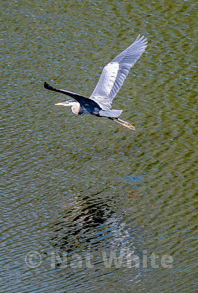 Heron_in_flight_NAW1760NAT_WHITE_May_08_2021