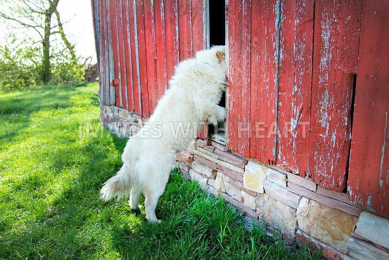 Big white dog looks into old red barn with green grass