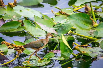 Young Purple Gallinule