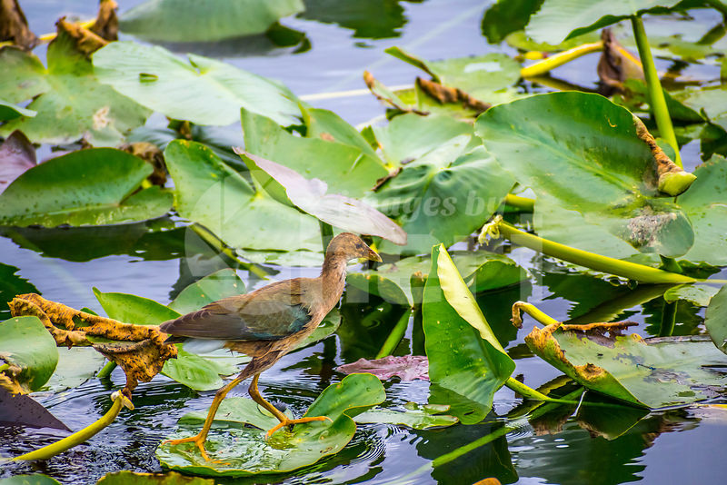 A young Purple Gallinule in the Everglades National Park, Florida
