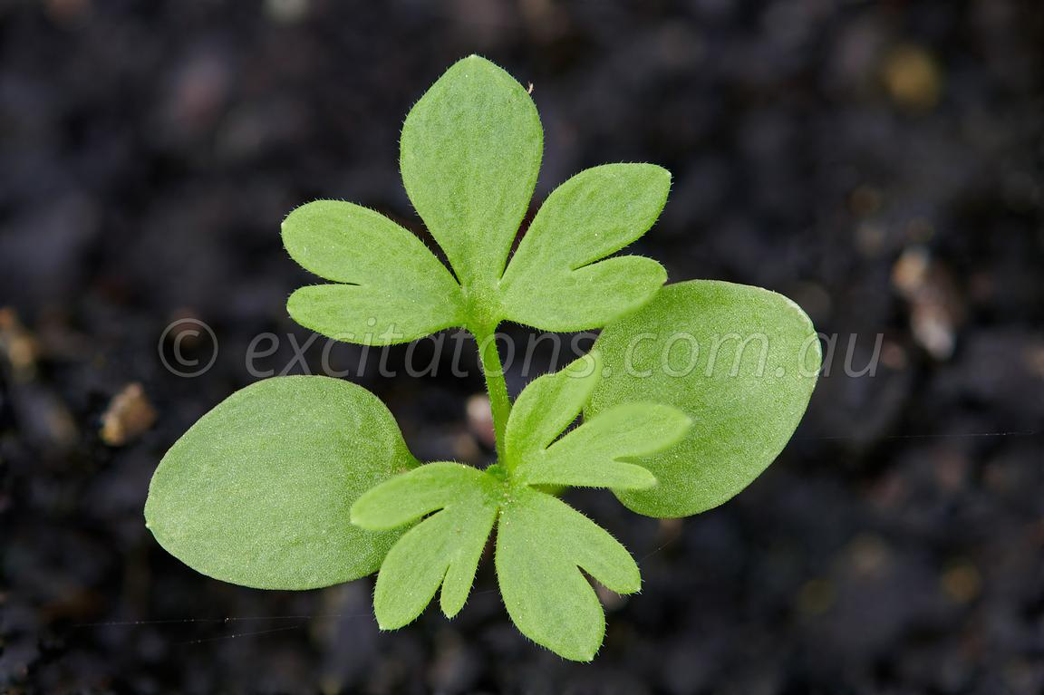 Larkspur seedling in nursery.