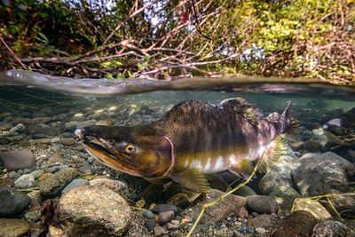 Pink Salmon Spawning sequence 2-02