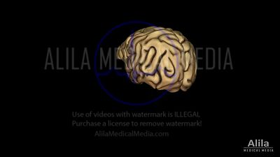 Brain anatomy and lateralization 3D NARRATED animation.
