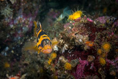 Juvenile China Rockfish, Sebastes nebulosus, with some Orange Cup Corals in Barkley Sound.