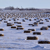 Bales in Snow