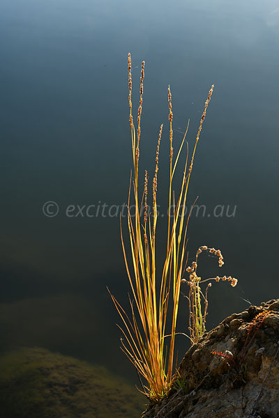 Grass growing on riverbank, backlighting.