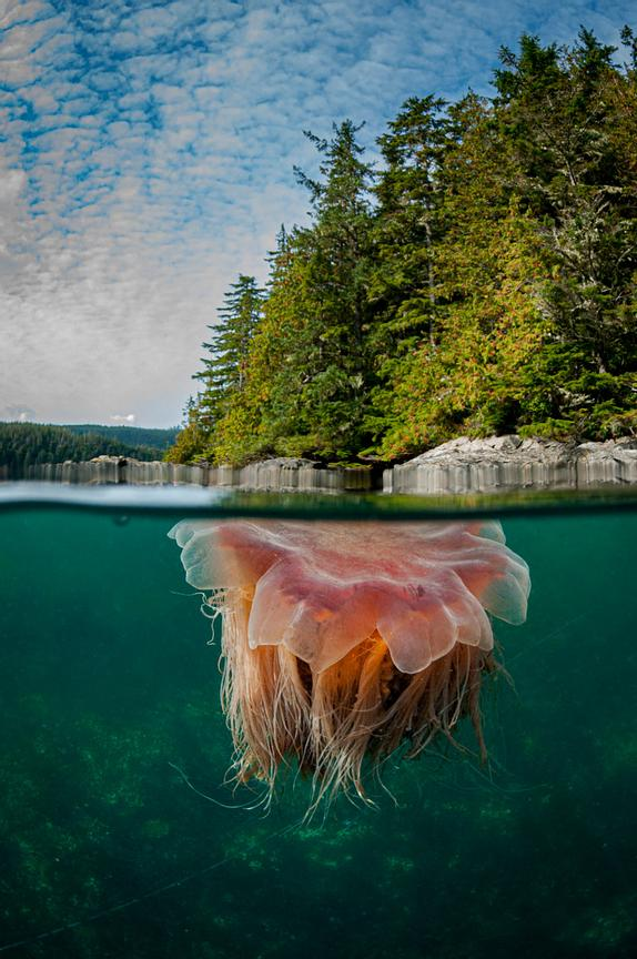 Split level image of a Lion's Mane Jellyfish,.Cyanea capillata, in British Columbia.