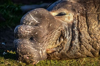 Male Elephant Seal, Mirounga angustirostris, basking in the sun at Race Rocks, Vancouver Island.