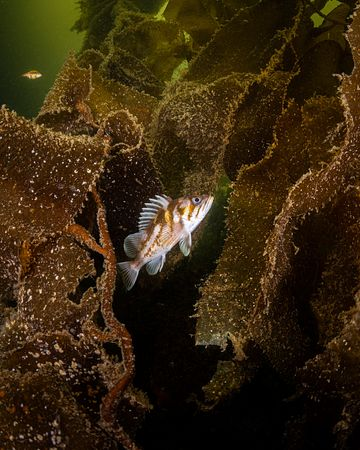 Sub Adult Copper Rockfish, Sebastes caurinus, in kelp.