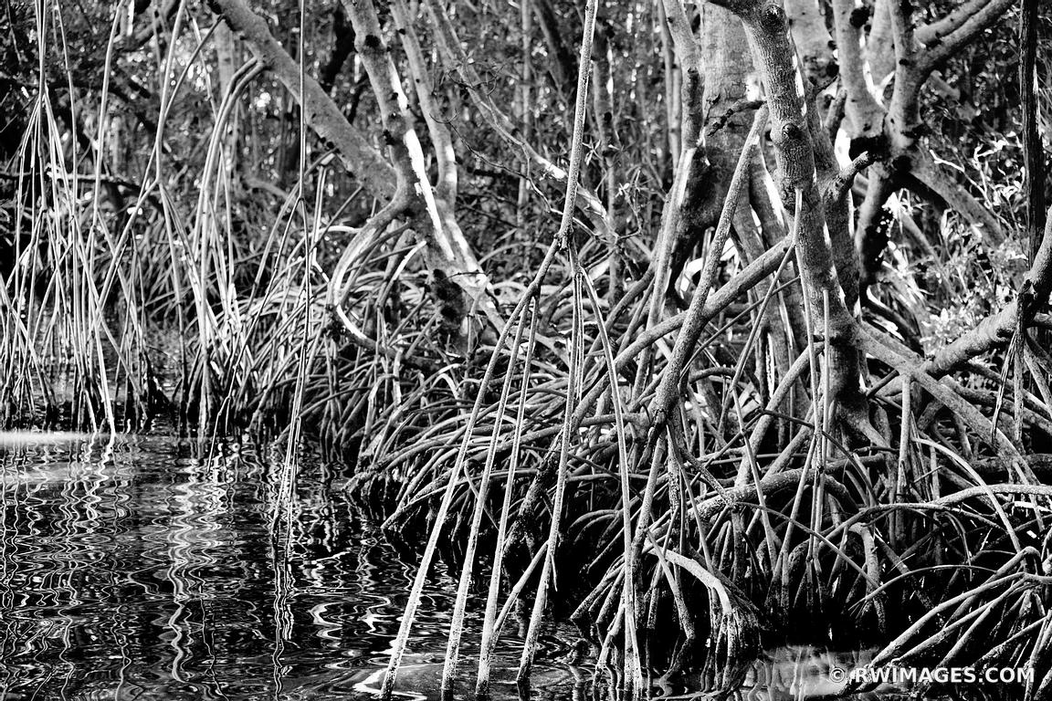 MANGROVE SWAMP FOREST TREE ROOTS EVERGLADES NATIONAL PARK FLORIDA BLACK AND WHITE