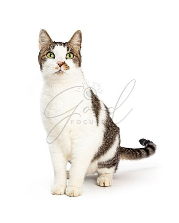 Grey and white pet cat full length isolated