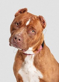 Brown American Staffordshire Terrier Dog Closeup