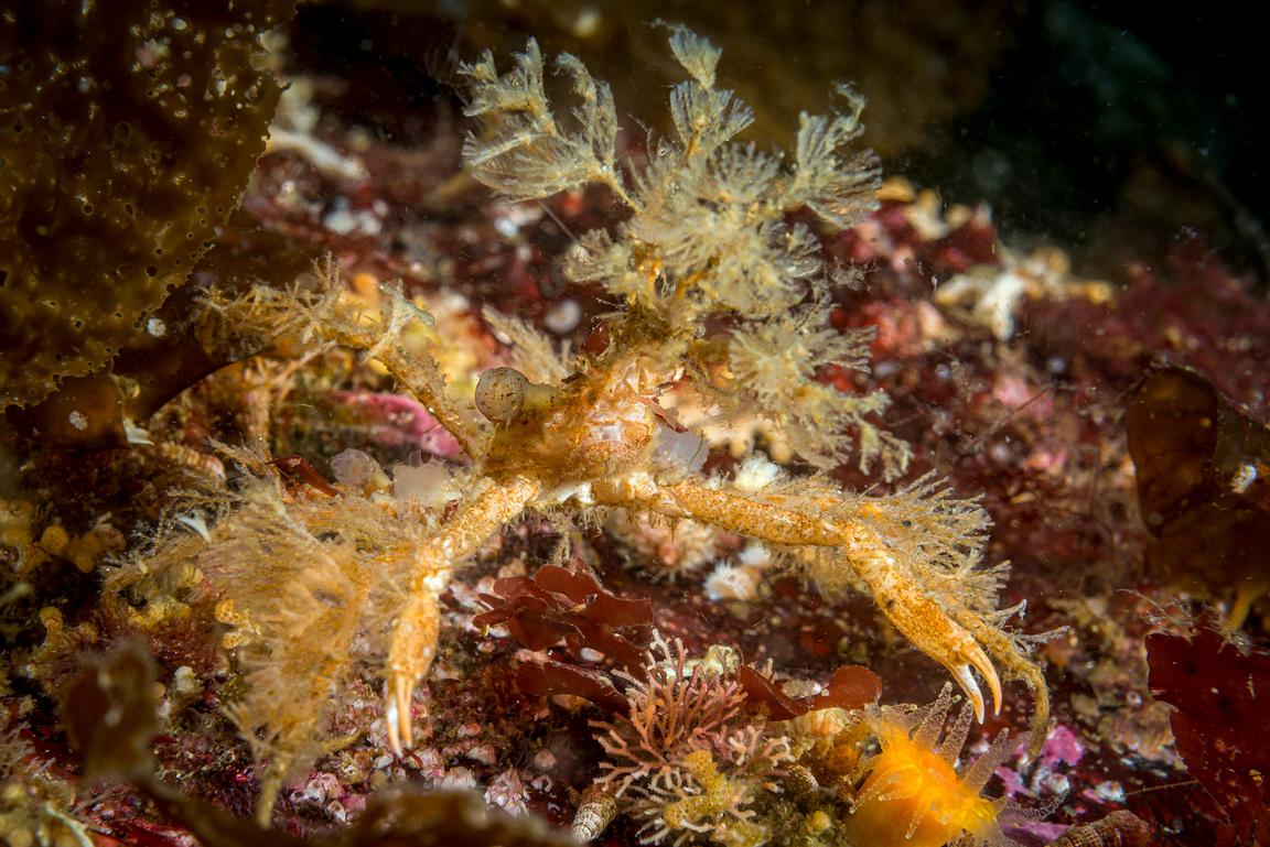 A small Graceful Decorator Crab, Oregonia gracilis, with hydroids covering its body and legs.
