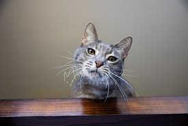 Close-up of Grey Cat Looking Down from Table with Head Tilted