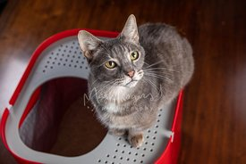 Grey Cat with Yellow Eyes and Grumpy Face Sitting on Top of Red Litterbox