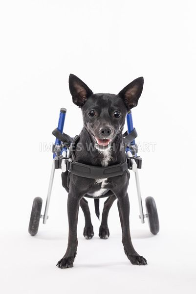 Cute small black handicapped Chihuahua