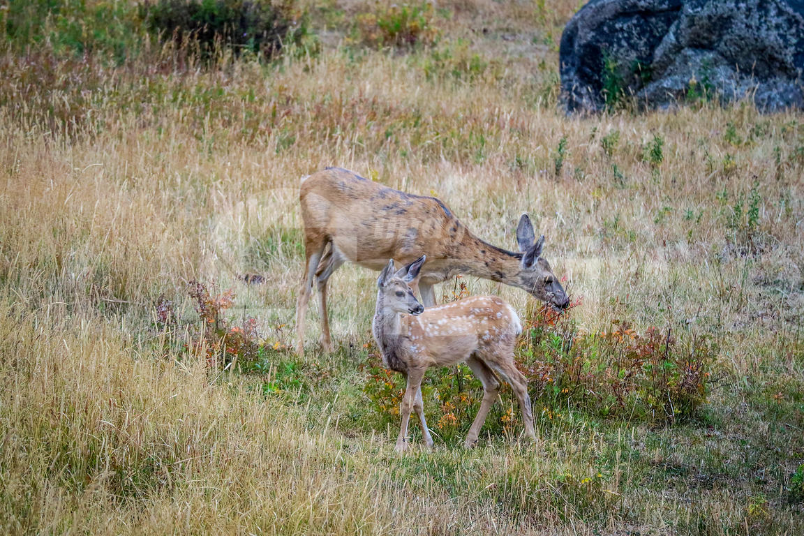 White-Tailed Deer in the field of Yellowstone National Park, Wyoming