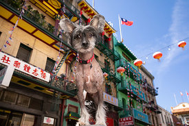 Chinese Crested Dog Looking Down at Camera in Chinatown