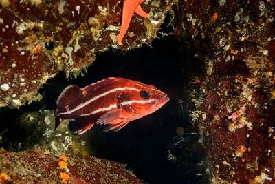 Striking coloured juvenile Yelloweye Rockfish, Sebastus ruberrimus, in the safety of a rocky hole at Hornby Island.