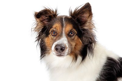 Closeup pet border collie dog studio isolated