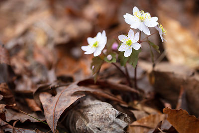 leavesandhepatica