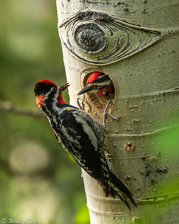 Red-Naped Sapsuckers at their Nest
