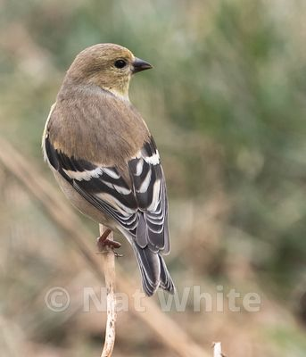 goldfinch_-3993_January_11_2021_NAT_WHITE