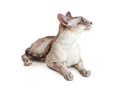 Oriental Shorthair Cat Lying Down Looking Side