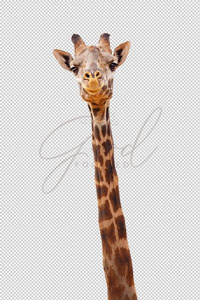 Giraffe Closeup Isolated Happy Expression - Extracted