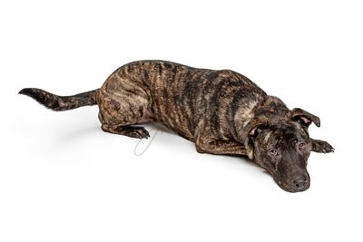 Cute sad tired pit bull lying isolated