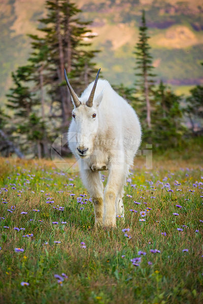 A Rocky Mountain goat at Glacier National Park