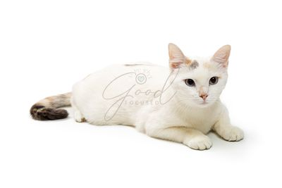Cute White Cat Lying Down Isolated