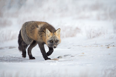 Cross Fox on the Prowl