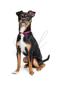 Surprised startled tricolor pet terrier dog isolated body shot